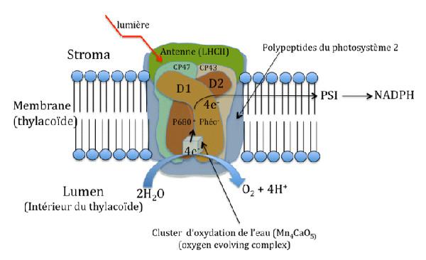 Fig. 2 : Effet de la lumière sur la photo-oxydation de l'eau – Source : Auteur