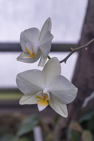 Fig. 3 : Fleur monocotylédone – Source : William Crochot, via Wikimedia Commons