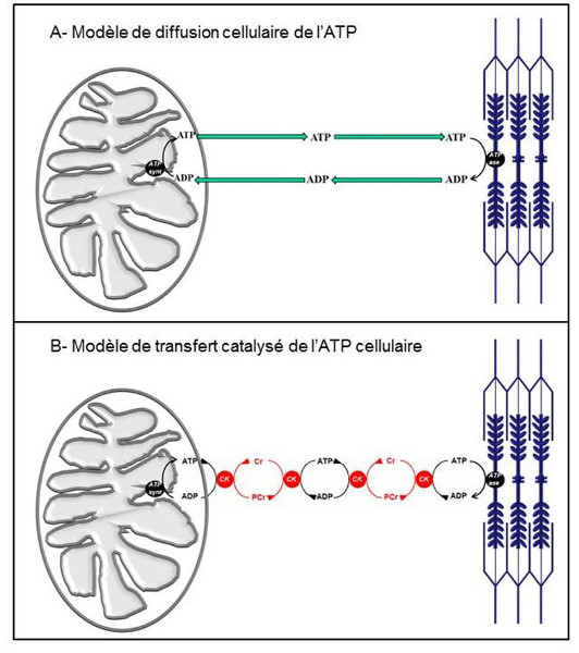 Fig. 10 : Modèles de transfert cellulaire de l'ATP - Source : Auteurs