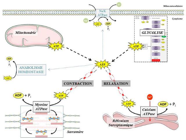 Fig. 12 : Utilisation de l'ATP par une cellule musculaire striée - Source : Auteurs