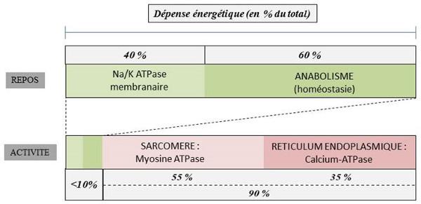 Fig. 13 : Répartition de la dépense énergétique totale dans une cellule musculaire striée - Source : Auteurs
