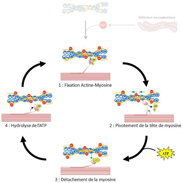 Fig. 14 : Cycle d'interaction entre l'actine et la myosine dans les sarcomères - Source : Auteurs
