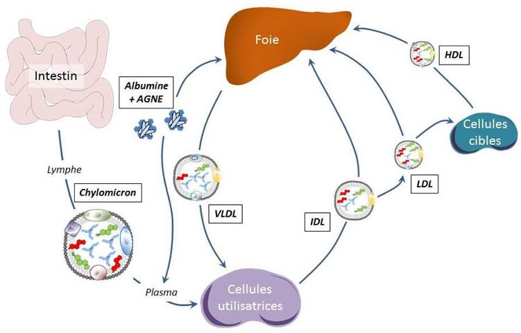Fig. 3 : Transport des acides gras dans l'organisme. AGNE : acides gras non-estérifiés ; HDL : High density lipoproteins; IDL : intermediary density lipoproteins ; LDL : low density liporoteins ; VLDL : very low density lipoproteins - Source : Auteurs