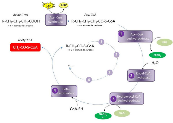Fig. 5 : B-oxydation: Les quatre étapes constituant un tour d'hélice de Lynen - Source : Auteurs