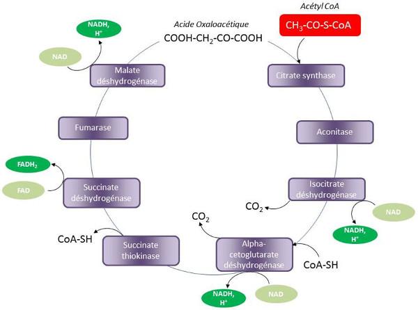 Fig. 6 : Cycle des acides tricarboxyliques (cycle de Krebs) - Source : Auteurs