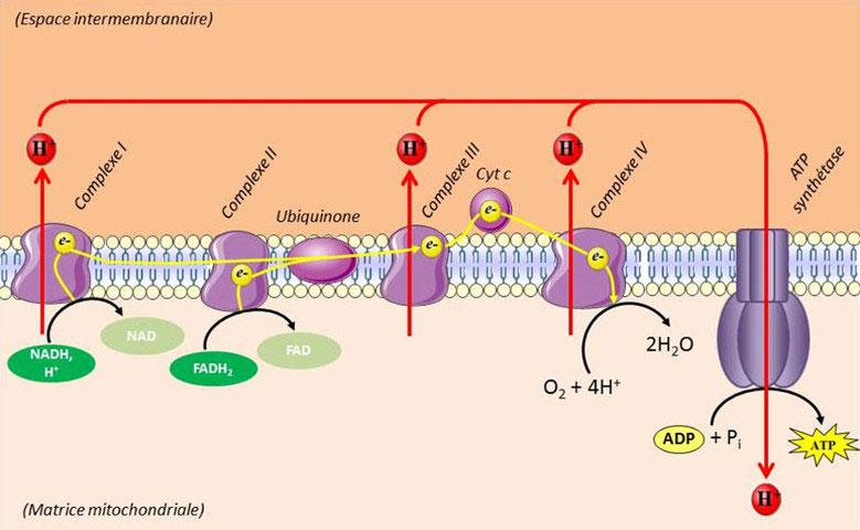 Fig. 7 : Chaîne mitochondriale de transfert des électrons. Ubiquinone = coenzyme Q, complexe I = NADH,H+-coenzyme Q reductase, complexe II = succinate-coenzyme Q réductase, complexe III = coenzyme QH2-cytochrome C réductase, complexe IV = cytochrome C oxydase, Cyt c = Cytochrome c – Source : Auteurs