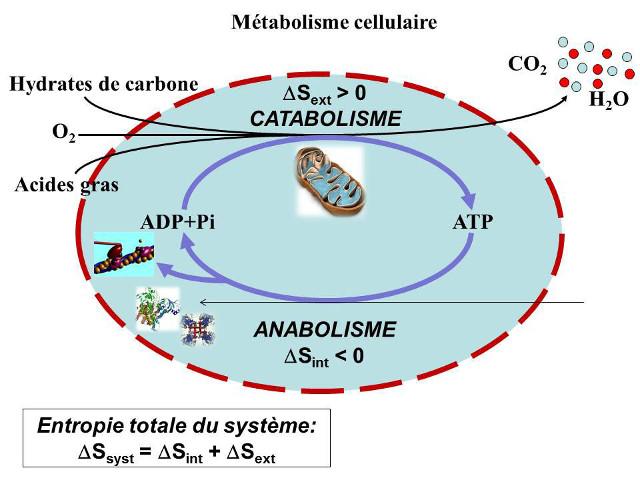 Fig. 8 : Schéma général du métabolisme cellulaire - Source : Auteurs