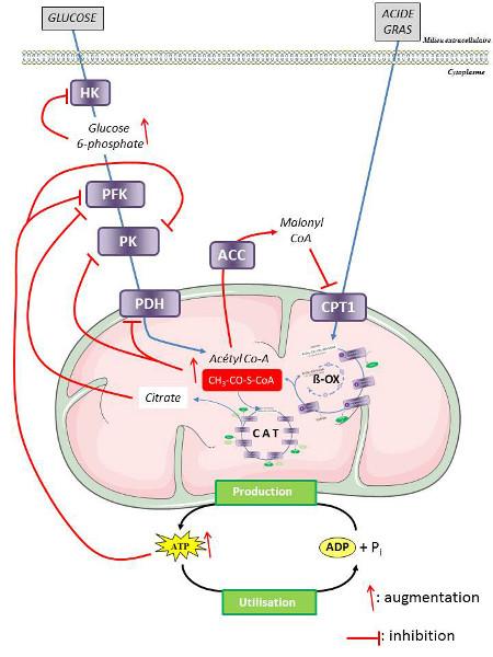 Fig. 9 : Mécanisme de régulation de la production d'ATP dans une cellule musculaire - Source : Auteurs